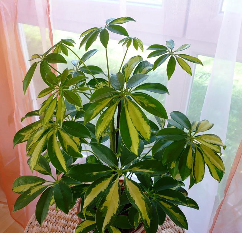 Комнатные растения шефлера фото